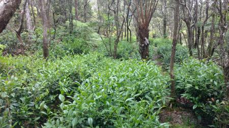tea hedges