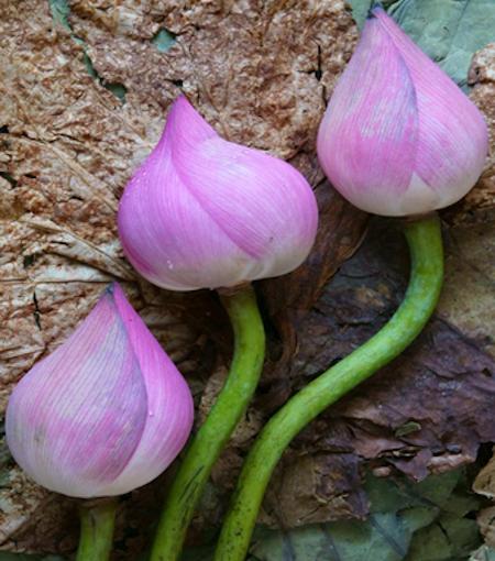 lotus leaf teas Portland